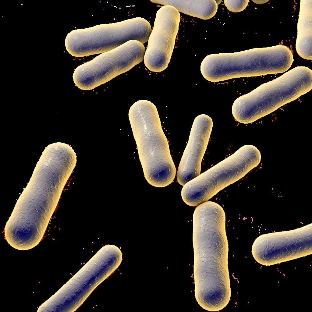 Darstellung der Propionibacterium acnes