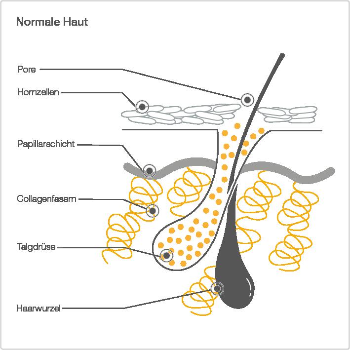 Schematische Darstellung der gesunden Haut