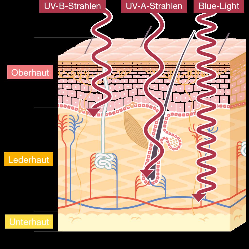 Infografik:, wie weit die verschiedenen UV-Strahlungen in die Hautschichten eindringen